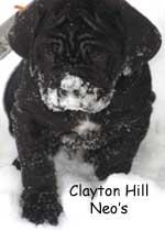 Clayton Hills Snowpup